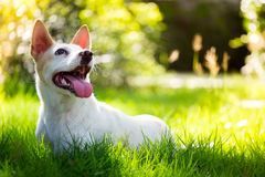 The cute disabled thai dog in the garden Stock Image