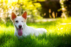 The cute disabled thai dog in the garden and left side Stock Photos