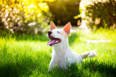 The cute disabled thai dog in the garden in summer Royalty Free Stock Image