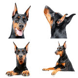 Cute Doberman dog is being curious Royalty Free Stock Images