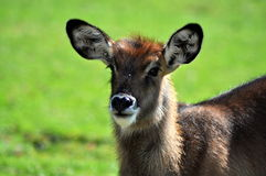 Cute doe Royalty Free Stock Photo