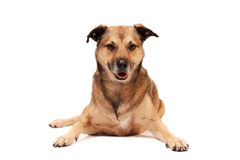 Cute Dog. Cute mixed breed dog posing on white background Stock Photos