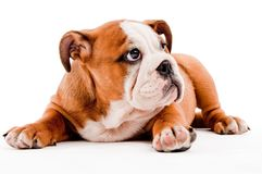 Cute dog royalty free stock photos