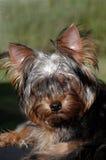 Cute Dog. Small hairy Terrier's head Royalty Free Stock Photos