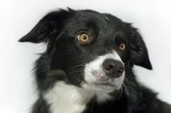 Cute dog. Portrait of a bordercollie on white background Stock Photography
