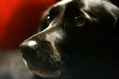 Cute Dog. Close up of black labrador dog Royalty Free Stock Images