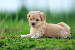Cute Dog. Lying on the grass field Royalty Free Stock Image