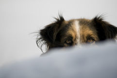 Cute dog. In snow gazing at the camera Royalty Free Stock Photo