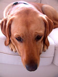 Cute dog. Labrador retriever daydreaming/thinking Royalty Free Stock Image