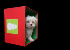Cute Dog. A cute little dog in a holiday Christmas box Royalty Free Stock Image