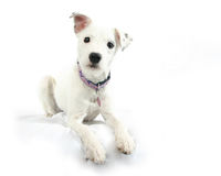 Cute Dog. A mixed breed dog with a cute look isolated on a white background Royalty Free Stock Photos