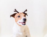 Cute dog as a Santas deer. Funny dog with deers horns Royalty Free Stock Photography