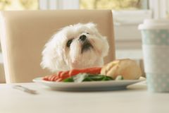 Cute dog asking for food. Cute white dog Maltese sitting on a chair at the table and begging for food like sausage which is on a plate Stock Photos