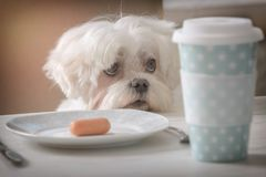 Cute dog asking for food. Cute white dog Maltese sitting on a chair at the table and begging for food like sausage which is on a plate Royalty Free Stock Images