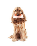 Cute dog asks to eat. Cute red dog asks to eat Royalty Free Stock Image