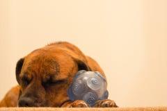 Cute Dog Asleep with Ball. Dog Asleep on the floor with toy ball Royalty Free Stock Photography