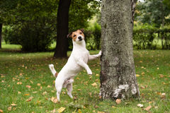 Cute dog at autumn park. Jack Russell Terrier standing near tree Royalty Free Stock Photos