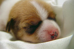 Cute Dog Baby Stock Photography