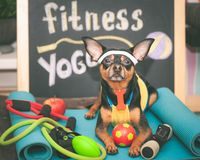 Cute dog with a ball. Dog football player or trainer . Football, basketball and volleyball. Dog Fitness ,