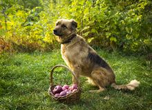 Cute dog and basket with red apples in autumn Stock Photography