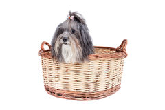 Cute dog in a basket. Studio shot of a cute dog with ribbon hair bowl looking out of a basket. Bichon Havanese dog breed. Isolated on white royalty free stock photography