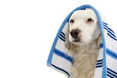 CUTE DOG BATHING. MIXED-BREED PUPPY WRAPPED WITH A BLUE COLORED TOWEL. ISOLATED STUDIO SHOT AGAINST WHITE BACKGROUND.  stock photo