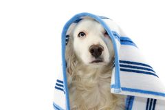 CUTE DOG BATHING. MIXED-BREED PUPPY WRAPPED WITH A BLUE COLORED TOWEL. ISOLATED STUDIO SHOT ON WHITE BACKGROUND.  royalty free stock photos