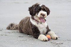 Cute Dog at the Beach stock photos