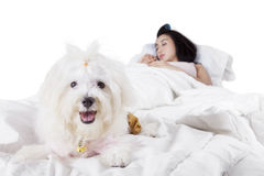 Cute dog on the bed with his owner. Portrait of a cute maltese dog looking at the camera while lying on the bed with his owner Stock Photo