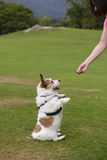 Cute dog begging treat. A cute dog begging for food from owner Royalty Free Stock Photos
