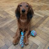 Cute dog begs to play. Dachshund has a new toy and wants to play royalty free stock photos