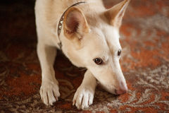Cute dog with big ears Stock Images