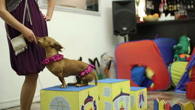 Cute dog at the birthday party. Dog show at the birthday party stock footage