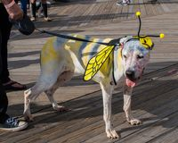Asbury Park, New Jersey - October 7, 2017: This cute dog came to the 10th annual Asbury Park Zombie Walk dressed as a butterfly Royalty Free Stock Photos