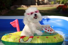 Cute Dog in boat in a swimming pool. Fifi the world famous Bichon Frise enjoys a Hot Summer Afternoon in her float toy boat in her personal swimming pool Stock Photography