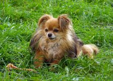 Cute dog with a bone sitting on green grass in a meadow. Funny l. Ittle companion dog Pomeranian Pom breed eats big bone royalty free stock images