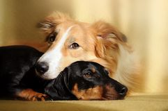 Two cute dog dreaming. Cute dog border collie and dachshund dreaming in the sunlight at home Royalty Free Stock Photo