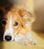 Cute dog border collie dreaming. In the sunlight at home Royalty Free Stock Images