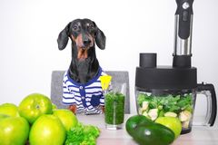 Cute dog breed dachshund, black and tan, cooks in a blender from fresh fruits and vegetables detox cocktail. Concept of diet, clea. Nsing the body, healthy stock images