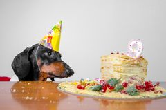 Cute dog breed dachshund, black and tan,  hungry for a happy birthday cake with candles  number 9,wearing  party hat  , on white b. Ackground royalty free stock image