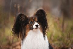 Cute dog breed papillon sitting in the forest in the fall