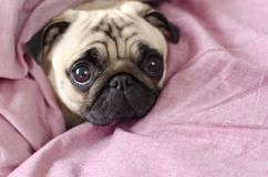 Cute dog breed pug  wrapped in  pink blanked.  Royalty Free Stock Photo