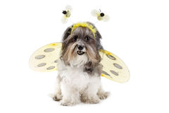 Cute dog in a bumble bee costume. Cute dog dressed up as a bumble bee with wings and antennae. Bichon Havanese dog wearing a bee Halloween costume, isolated on stock photos