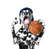 Cute dog in cap holding a ball and shout and scream. Isolated on white Stock Image