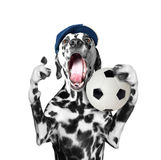 Cute dog in cap holding a soccer ball and shout and scream. Isolated on white background stock photos