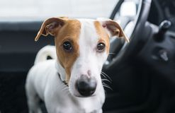 Cute dog in car ready to long travel stock images