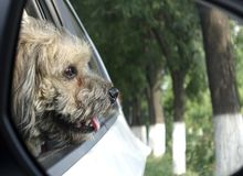 Dog in car attracted by the scenery outside. Cute dog in the car was attracted by the scenery outside royalty free stock photo