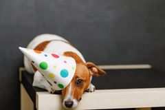 Cute dog in carnival party hat. Celebrating birthday on horizontal banner with space for text Royalty Free Stock Image