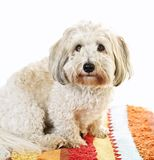 Cute dog on carpet Royalty Free Stock Photos