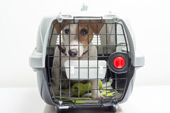 Cute dog in carrier. Young dog jack russel terrier in plastic carrier ready to travel Royalty Free Stock Images